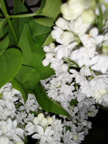 White Flowers White Lilac Liliac Alb WOLFZUACHiV Photography Veronica IONITA Photography Leaf Green Color Flower Plant Freshness Close-up No People Nature Springtime Growth Beauty In Nature Fragility Outdoors Flower Head Scented