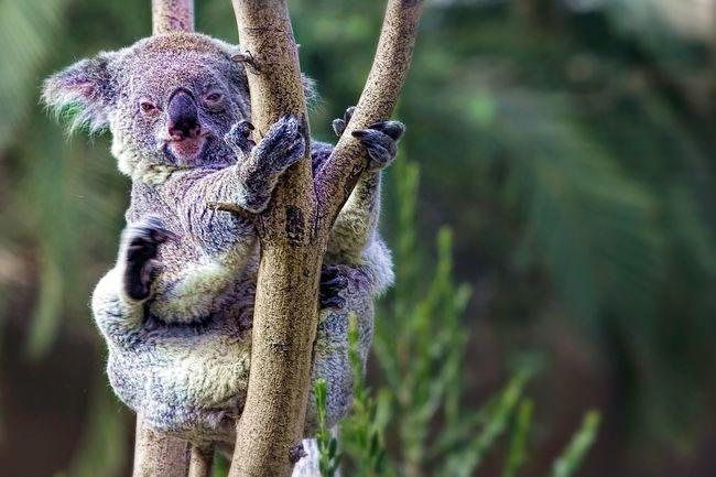 Koala. San Deigo Zoo, San Deigo, CA Taking Photos Check This Out Traveling Wildlife Photography EyeEm Best Shots Malephotographerofthemonth Adventure Picoftheday Sandeigozoo Eye4photography