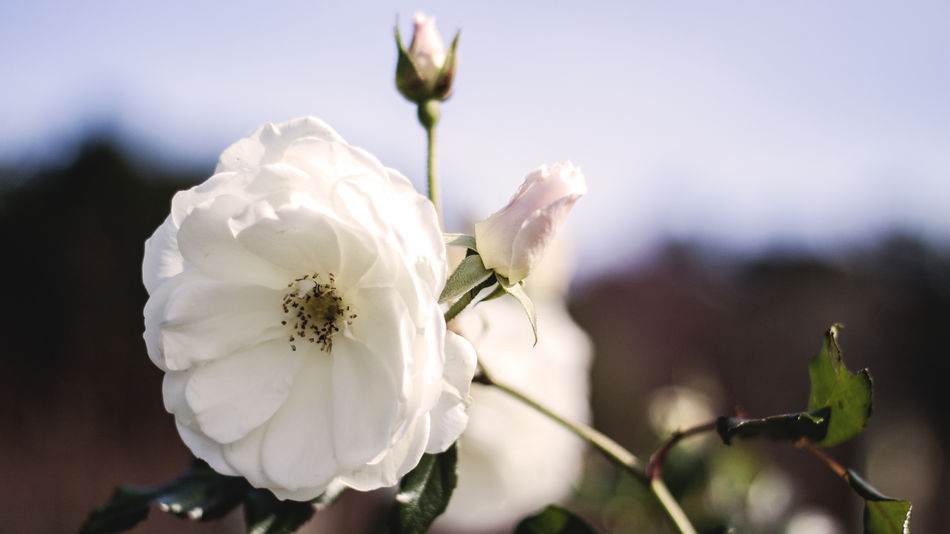 A white rose. Australia Beauty In Nature Bokeh Canon Canonphotography Close-up Day Eye4photography  EyeEm EyeEm Best Edits EyeEm Best Shots EyeEm Best Shots - Nature EyeEm Gallery EyeEm Nature Lover EyeEmBestPics Flower Flowers Nature Outdoors Petal Plant White The Great Outdoors - 2016 EyeEm Awards