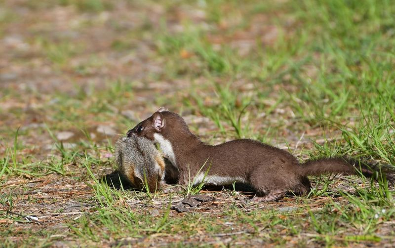 Weasel Awesome