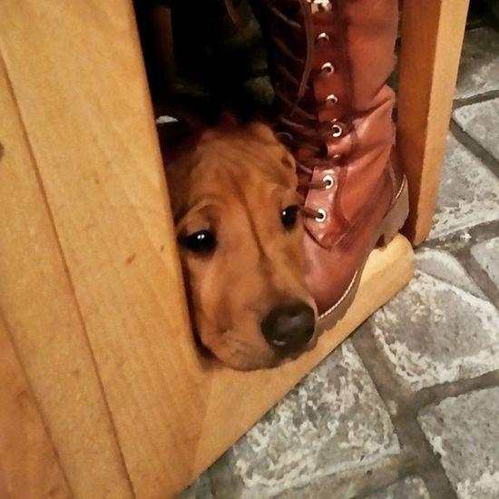 Ohana's erster Restaurantbesuch ? Rhodesianridgeback Hund Dog Welpen puppies rhodesian ridgeback picoftheday instadogs love puppy ohana restaurant grieche
