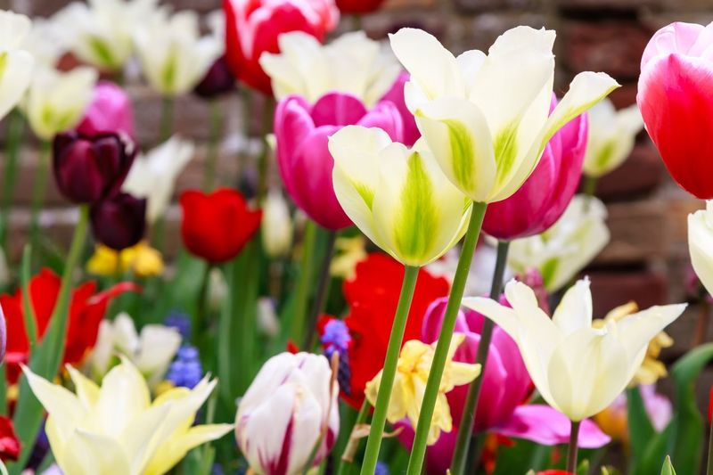 Spring flowers in full bloom Flower Beauty In Nature Fragility Freshness Nature Petal Plant Close-up Flower Head Multi Colored No People Growth Blooming Day Tulip Outdoors Growing Growth Flowers,Plants & Garden Springtime Spring Spring Flowers Color Palette Colors Tulips