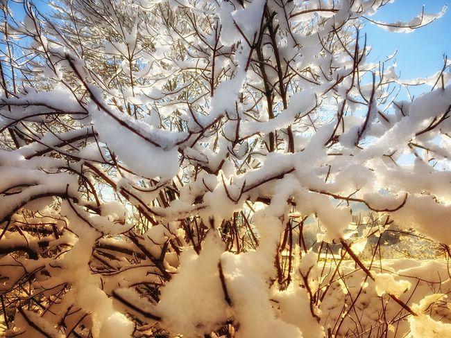 Schneebedeckter Baum im Gegenlicht der tiefstehenden Sonne ☀️ Branch Day No People Winter Cold Temperature Snow