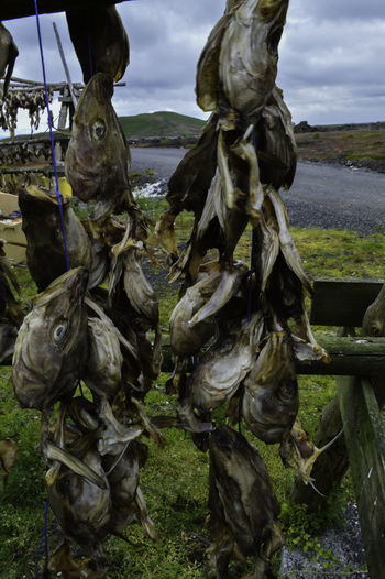 A close-up shot of fish heads hung out to dry in the Icelandic countryside. Fish Heads Iceland Animal Themes Close-up Cloud - Sky Day Drying Fish Drying Fish Close Up Drying Fish Head Fish Head Fish Head Close Up Nature No People Outdoors Sky
