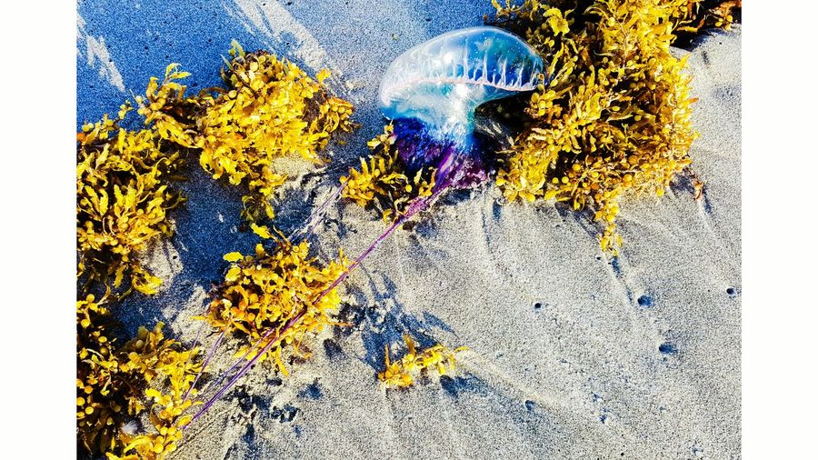 EyeEm Gallery Ft Lauderdale Hollywood Beach FL Washed Up Jellyfish Jelly No People EyeEmNewHere Art Is Everywhere Long Goodbye The Great Outdoors - 2017 EyeEm Awards Neon Life The Week On EyeEm Pet Portraits Done That. Lost In The Landscape EyeEm Ready   Yellow Multi Colored Nature Close-up