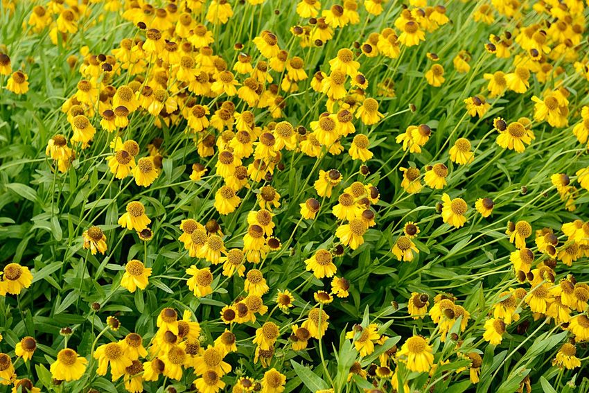 Helenium Bigelovii The Bishop Sneezeweed Botany Blossom Blooming Summer Garden Garden Plant Beauty In Nature Growth Green Color Flowering Plant Flower Freshness Outdoors High Angle View Vulnerability  Flower Head Backgrounds Full Frame No People Fragility Day Nature Field Land Yellow