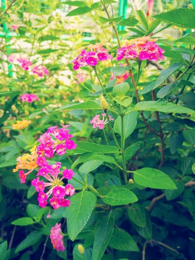 Flower Pink Color Fragility Plant Nature Growth Beauty In Nature Leaf Green Color Day Outdoors Freshness Flower Head No People Close-up Backgrounds Wallpapers สวยงาม น่ารัก กลิ่นอันหอมหวาน