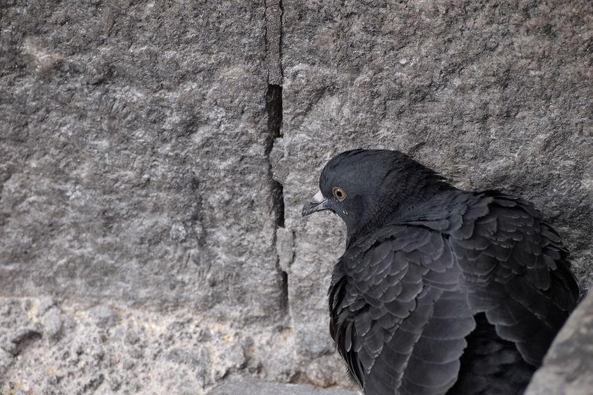 Animal Brick One Animal Pidgeon  Stone Material Stonewall