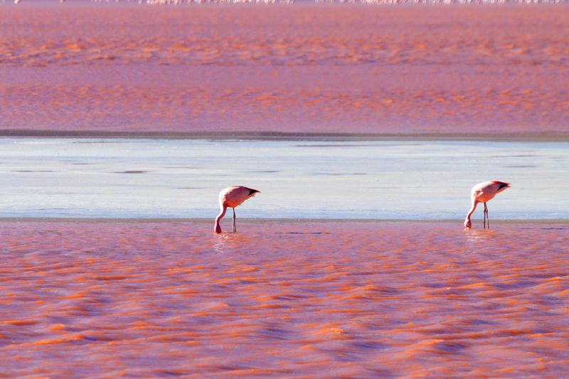 Flamingos hunting at beach