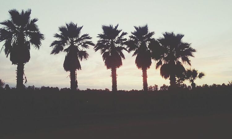 Sunset Palm Tree No People Nature Sky