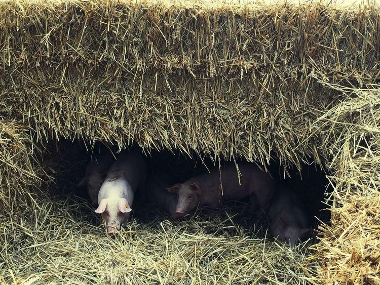 Pigs Nature Agriculture Animals Livestock