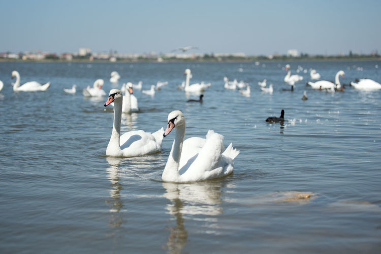 Animal Animal Themes Animal Wildlife Animals In The Wild Beauty In Nature Bird Day Floating On Water Flock Of Birds Group Of Animals Lake Large Group Of Animals Nature No People Outdoors Swan Swimming Vertebrate Water Waterfront White Color