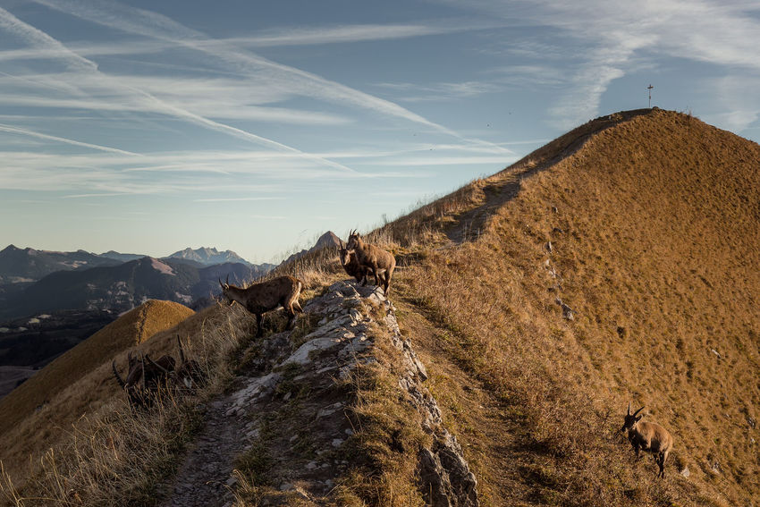 capricorns on the way Steinbock In Freier Natur Steinböcke Berner Alpen Capricorn Mountain Environment Nature Domestic Animals Animal Themes Outdoors Landscape Sky Day Capricorns Way Of Life Ways Of Seeing Morning View Sunligt Twinkling Swissalps