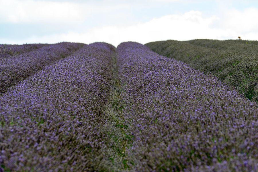 Lavender Field Agriculture Beauty In Nature Close-up Cloud - Sky Crocus Day Field Flower Freshness Growth Landscape Lavender Lavender Colored Nature No People Outdoors Plant Purple Rural Scene Scenics Sky Tranquil Scene Tranquility