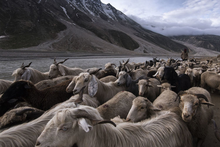 Flock of sheep on mountain against sky