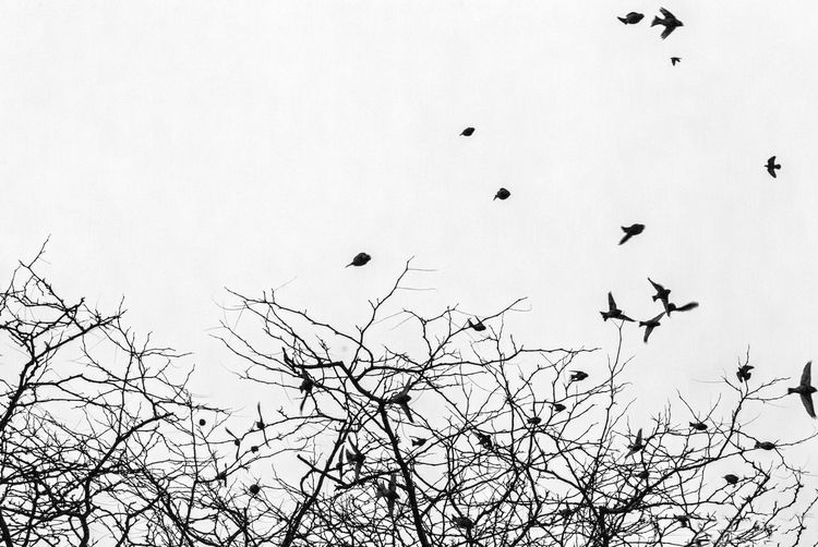 Backgrounds Bare Tree Bird Branch Change Clear Sky Flight Flock Flowers Flying Growing Growth Low Angle View Nature No People Outdoors Overcast Silhouette Sky Tree Twig Winter