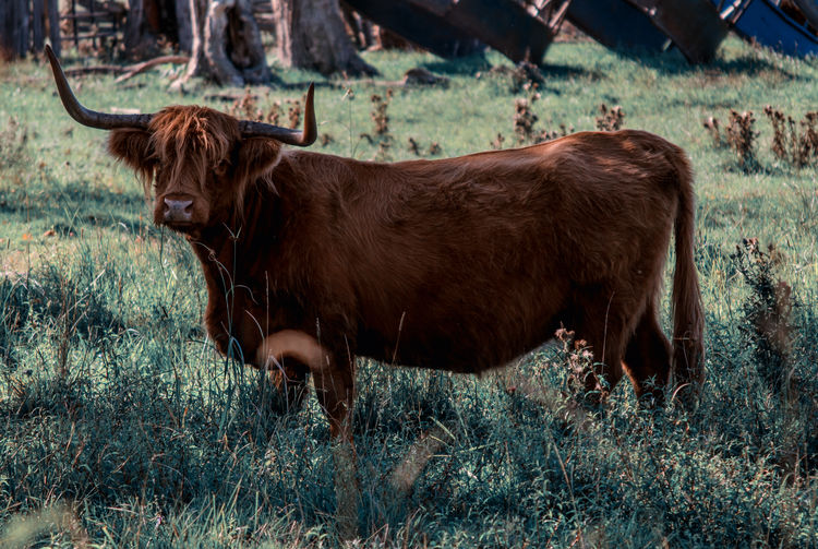 What are you looking at? Animal Themes Brown Bull Cow Day Domestic Animals Domestic Cattle Grass Grassy Highland Cattle Livestock Nature One Animal