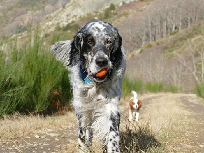 English setter carrying a toy to it's owner