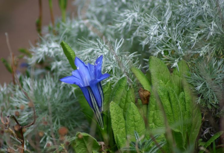 Alpine Flower Beauty In Nature Blooming Blue Close-up Crocus Day Flower Flower Head Fragility Freshness Gentian Blue Gentian Flower Green Color Growth Leaf Nature No People Outdoors Petal Plant Purple
