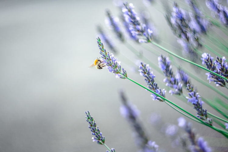 Bee pollinating on lavenders