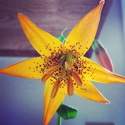 A bud of those lilies opened up this morning. (: TIGERLILIES Flowers Oregon