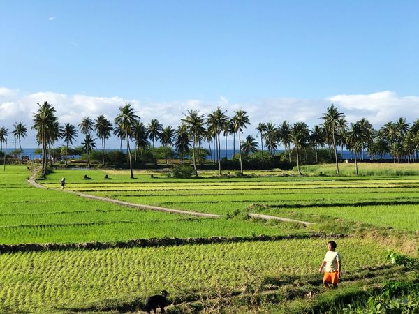 Lost In The Landscape Philippines Rice Paddy Rice Field Green Horizon Over Land Agriculture Farm Nature Landscape Scenics Tropics Tropical