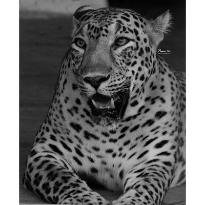 Leopard Spotted One Animal Animal Themes Close-up EyeEm Best Shots - Nature EyeEm Best Shots EyeEmBestPics Eye4photography  EyeEmNewHere EyeEm Selects EyeEm Masterclass Perspectives On Nature Indianphotography Wanderersoul Travelingram Beauty In Nature Happiness Photography Themes EyeEm Best Edits