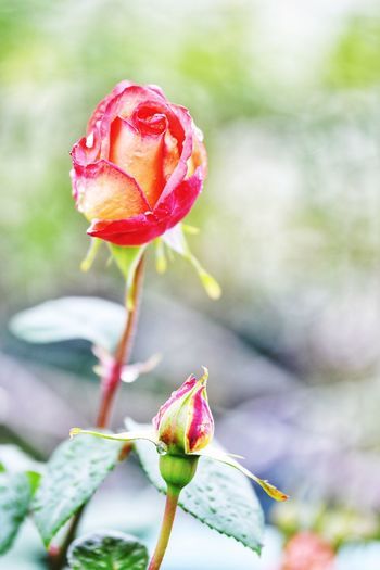 EyeEm Selects Plant Flowering Plant Flower Beauty In Nature Close-up Growth Vulnerability  Fragility Rosé Freshness Rose - Flower Focus On Foreground Nature Petal Pink Color Bud Flower Head Inflorescence Water No People