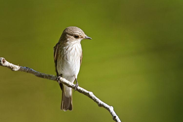 Spotted flycatcher from brijuni national park