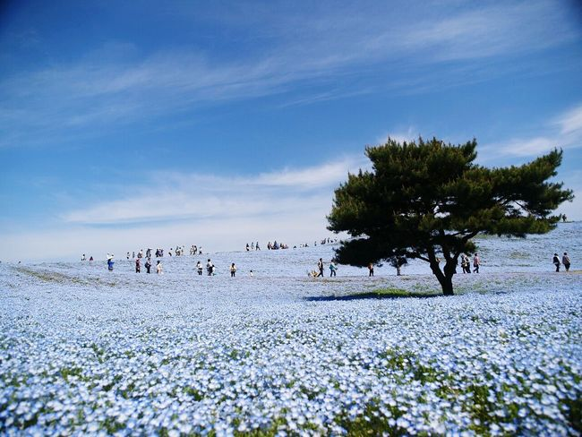 Flowers EyeEm Nature Lover Cute Japan Spring Flowers Spring Natural Photo Morning Boke Flower Nemophila Blue