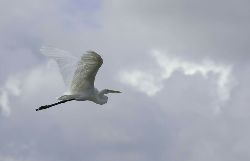 Side View Of Great Egret Flying Against Cloudy Sky