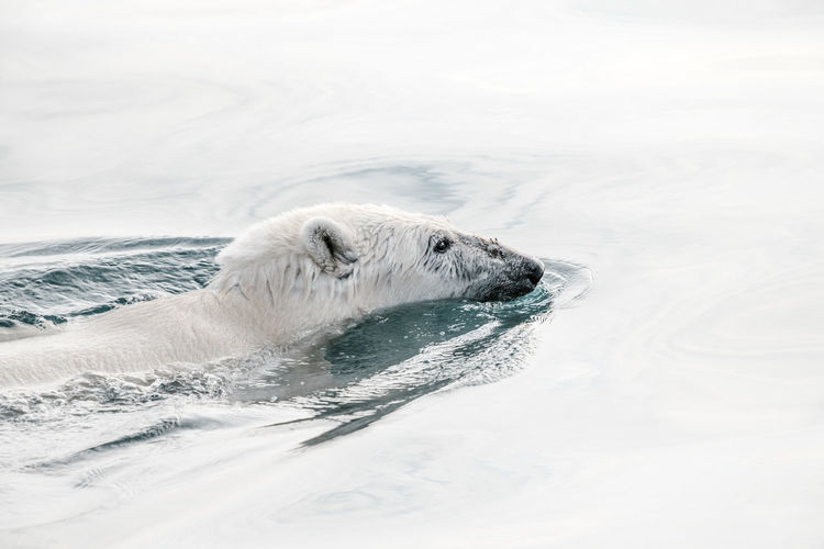 High angle view of polar bear swimming in sea
