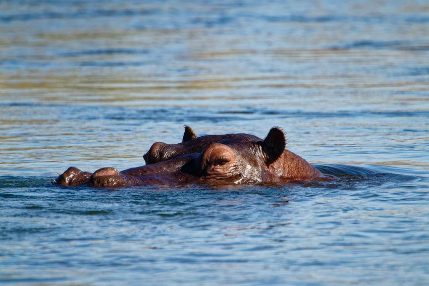 Hippo in water Hippo Okovango Okovango River Cubango River Namibia Africa EyeEm Selects Hippopotamus Water Swimming Underwater Portrait Safari Animals River Animal Eye HEAD Snout Animal Head  Animal Nose Safari Wetland Wildlife Reserve Animal Ear