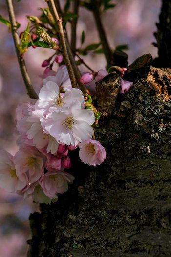 Kirschblüten 🌸