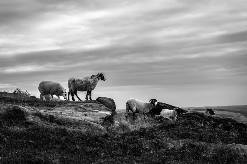 Sheep on rocks against cloudy sky
