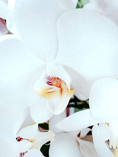 Flower Orchid White Simplicity IPhoneography Bright Beautiful IPhone Photography Keukenhof Netherlands Showcase: December Pastel Power