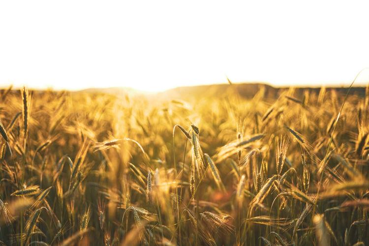 Wheat field against clear sky