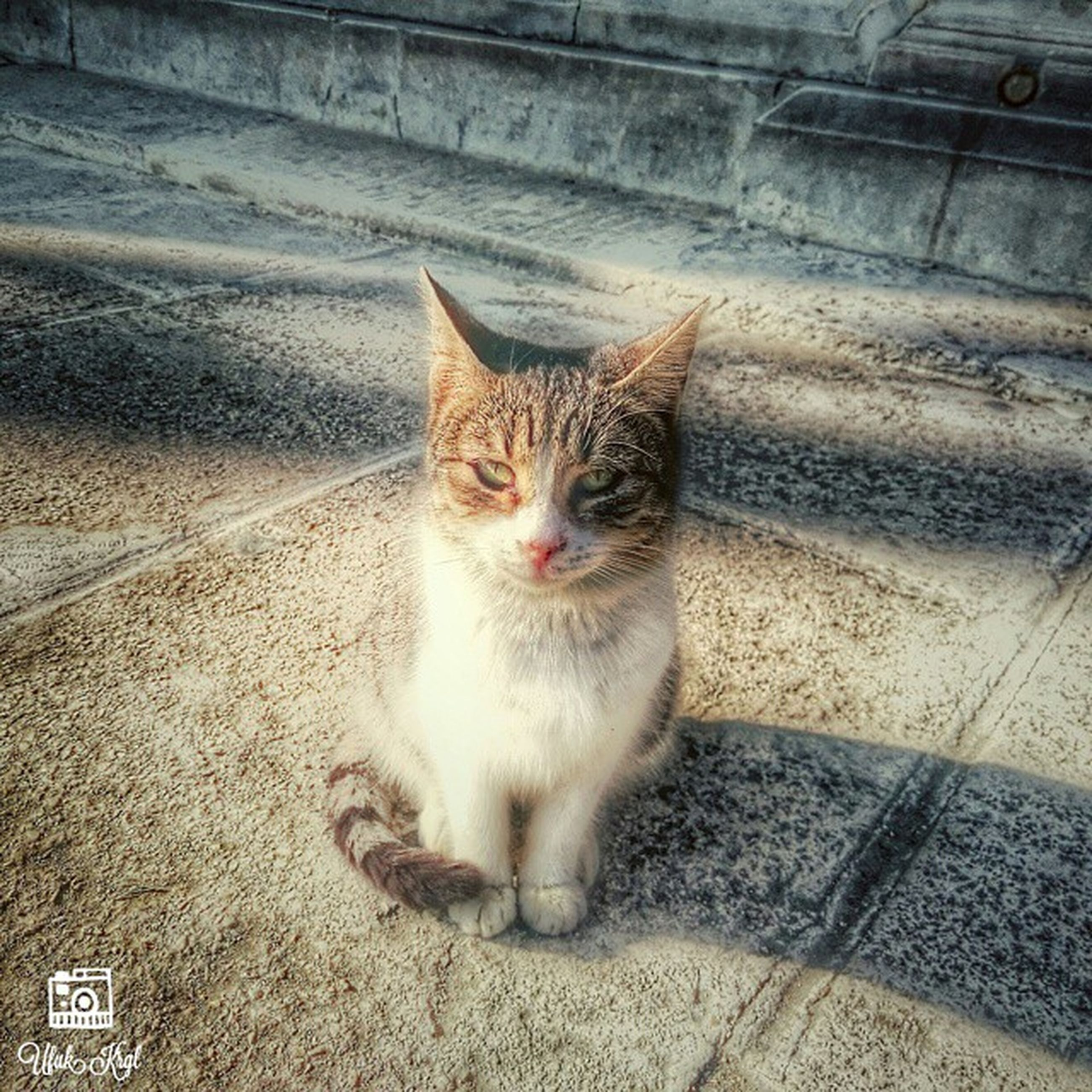 domestic cat, cat, pets, domestic animals, feline, one animal, mammal, animal themes, whisker, looking at camera, portrait, street, outdoors, no people, day, high angle view, wall - building feature, close-up, front view, sitting