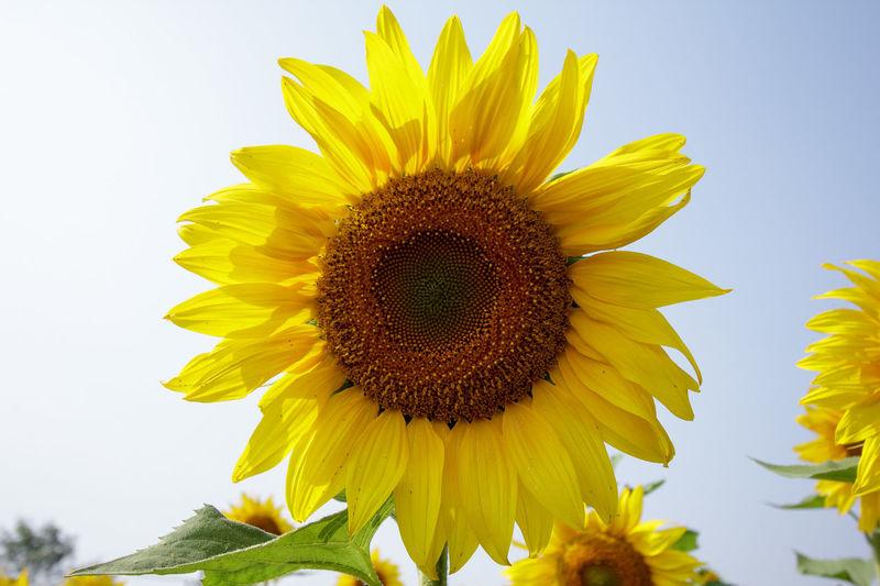 sunflower Sunflower Sunflower Moring