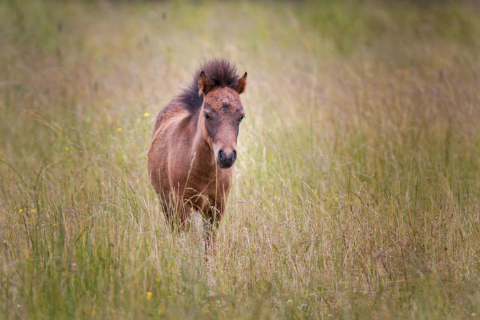 A tiny horse (pony?) in a meadow Colt Domestic Animals Field Foal Grass Horse Landscape One Animal Outdoors Pony Small Tiny