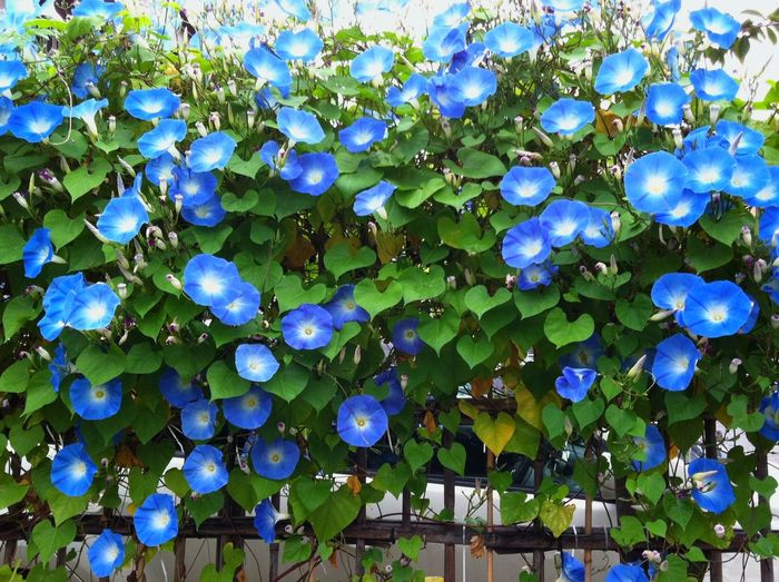 Flowers Morning Glory Tokyo Japan IPhone IPhone 4 IPhoneography Blue