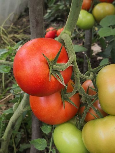 Fruit Red Vegetable Leaf Tomato Greenhouse Agriculture Close-up Plant Food And Drink