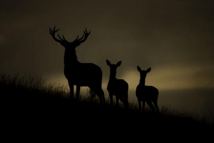 Red Deer at