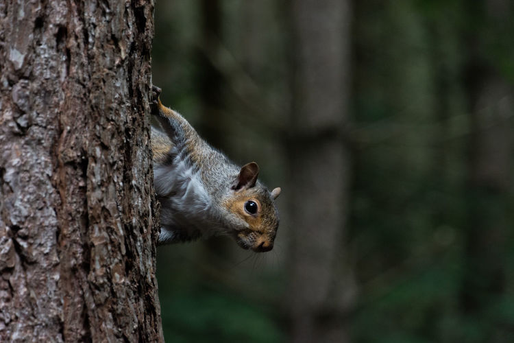 A grey squirrel hanging on to the side of a pine tree in sherwood forest, nottinghamshire.