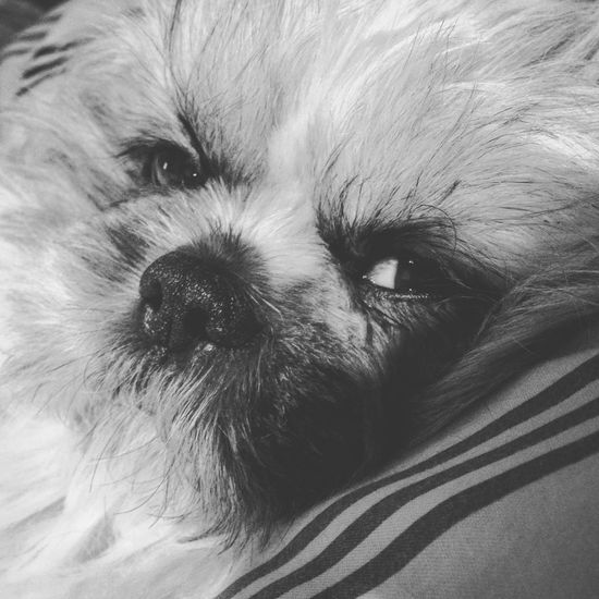 Sleepyinshihtzuland Blackandwhite Puppyeyes Nose Shih Tzu Dog One Animal Animal Themes Animal Mammal Pets Vertebrate Domestic Domestic Animals Portrait Relaxation Resting No People Animal Head  Dog Canine Looking At Camera Bed Close-up Animal Body Part Indoors