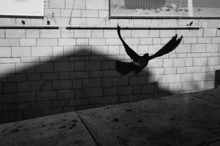 Freedom Wall Bird Blackandwhite Building Day Dove Energetic Flight Flying Pigeon Wings