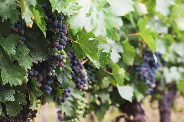 Close-up of grapes growing in vineyard