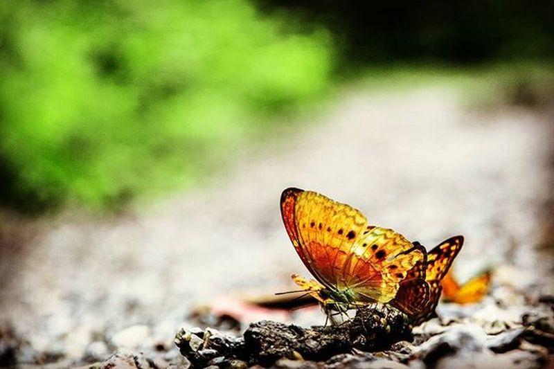 Butterfly Baankrang KaengKrachan Phetburi Thailand Nikon D5200