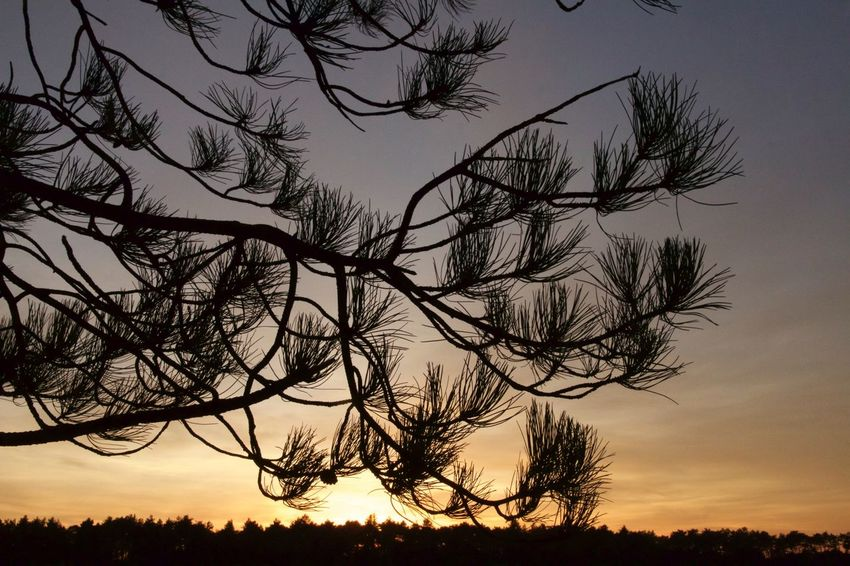 Pine Tree Sunset Tree Beauty In Nature Sunset Silhouette Tranquility Scenics Sky Tranquil Scene Low Angle View Outdoors Branch Pine Tree Pine Woodland Pine Needles Tree Silhouette At Sunset Dusk Tree Silhouette Natural Natural World