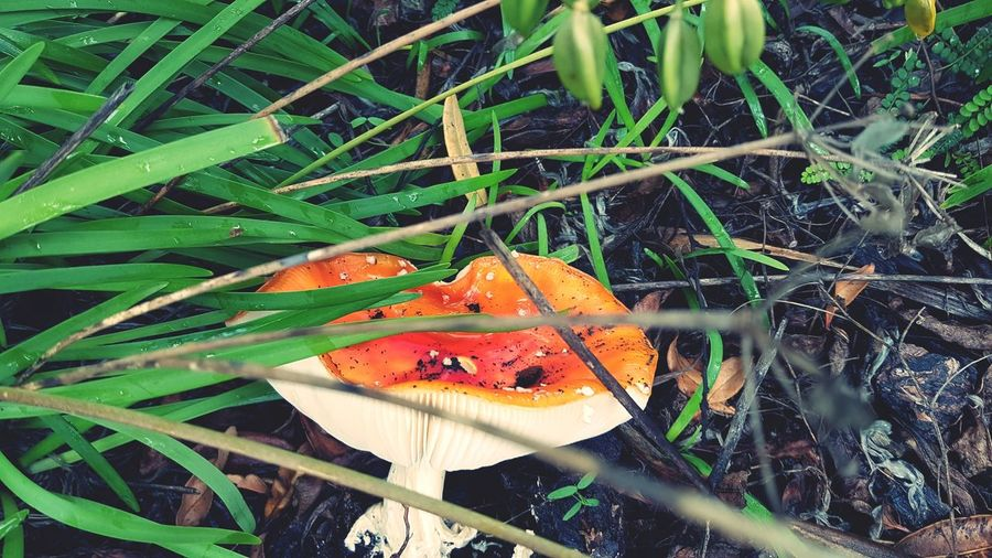 Nature Leaf Outdoors Growth High Angle View Day Beauty In Nature No People Close-up Grass Mushrooms 🍄🍄 Single Red Mushroom Toadstool 🍄